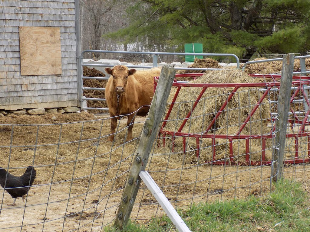 Cow and chicken in front of manure pile.