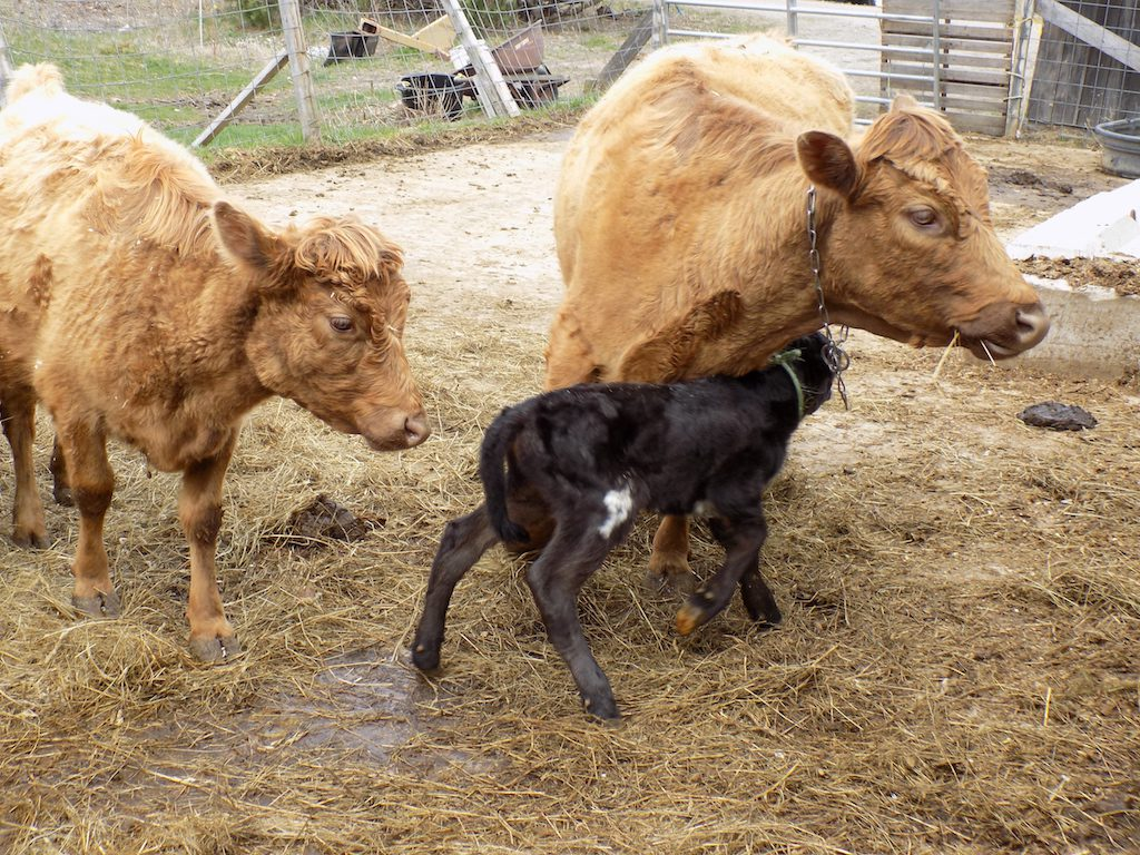 2-day old calf with mother.