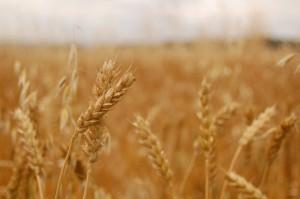 Wheat_Jayneandd