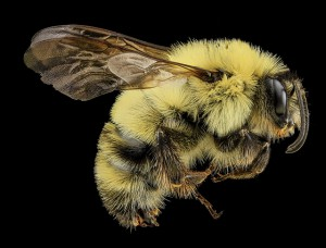 Photo credit: USGS Bee Inventory and Monitoring Lab